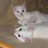 Two young white kittens