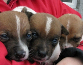 Jack Russell Terrier X Puppies