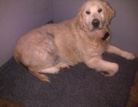 Golden Retriever Looking for a home