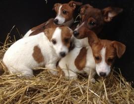 Jack Russsell Puppies