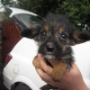 Lucky Escape for Yorkshire Terrier Puppy