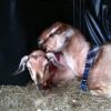 Abandoned Goats in the Care of the ISPCA