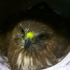 ISPCA appeal for information after a Buzzard was shot in Westmeath