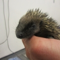 The ISPCA is caring for two young hedgehogs