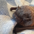 Leisler's bat found grounded at the ISPCA National Animal Centre