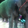 ISPCA welcomes statement from Veterinary Ireland on the welfare of wild animals in travelling circus