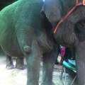 Donegal County Council to ban the use of wild animals in circuses from public land