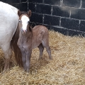 Rescued pony Kay has had the most gorgeous healthy foal called Poppy