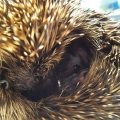 Hedgehog with serious eye injury now recuperating after being rescued in Cork