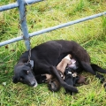 Dog discovered tied to a gate trying to nurse six new born puppies in Roscommon
