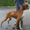 Kildare man convicted of animal cruelty offences to two boxer dogs