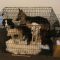 Dogs rescued in poor condition from confined crate in Limerick City