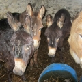 ISPCA rescue eight neglected equines living in terrible conditions in Donegal