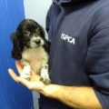ISPCA caring for seven puppies smuggled from Ireland into Wales