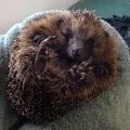 Hedgehog rehabilitated at ISPCA Donegal centre released back into the wild