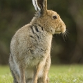 ISPCA issue a statement on Hare Coursing
