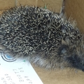 Harry the Hoglet recovering from injuries at the ISPCA National Animal Centre