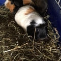 Four Guinea pigs and a goldfish abandoned at an apartment in Cork city