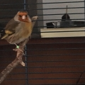 ISPCA appeals for information to reunite a Goldfinch bird with its owner