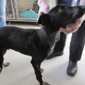 Lurcher puppy surrendered to the ISPCA covered in an unidentified substance