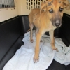 Puppy surrendered to the ISPCA with severe sores and hair loss