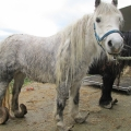 Ponies left to suffer with severely overgrown hooves