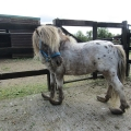 Pony with horrifically overgrown hooves rescued by the ISPCA