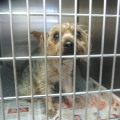 Yorkie dog found in a zipped plastic bag