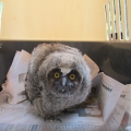 ISPCA rescues baby Owl from a main road in Offaly