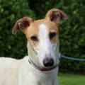 ISPCA appeal for homes for greyhounds