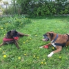 Boxers Ace and Artie were adopted together after being rescued from horrendous conditions