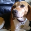 Beagle Jude's family 'fell in love with her the moment we met her'