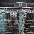 A ban on fur farming to be introduced in Ireland