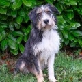 ISPCA appeals for home for sweet terrier dog called Loki