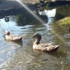 Two ducks adopted from our Equine Rescue Centre in Mallow have settled in perfectly