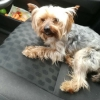 'Our little Matty': Yorkie found in a plastic bag gets a happy new life