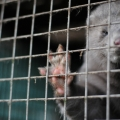 ISPCA calls for a ban to become #FurFreeIreland