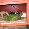 Guinea pigs Georgina and Peppa went to a new home together