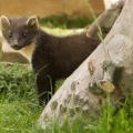 Young Pine Marten Successfully Released