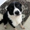 Poppy the Collie was the first dog adopted from the ISPCA Donegal Animal Rehabilitation Centre