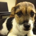 Sligo woman fined for animal welfare offences against Jack Russell puppy