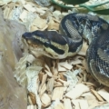 ISPCA seeks home for rescued python