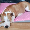 Sansa the Staffie is 'a comfort and companion to all' in her new family
