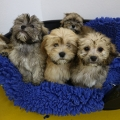 ISPCA remove 86 dogs from illegal dog breeder