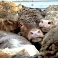 The ISPCA is calling for an immediate suspension of live exports of cattle to non-EU countries