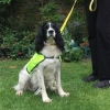 Trixie the springer spaniel is now a beloved therapy dog