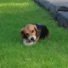 Huge thanks to the Mahon family who recently adopted adorable Beagle Domino