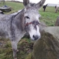 Donkey rescued with horrific head injuries caused by a rope head-collar