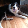 Nigel the Collie is now happily rehomed and loving life