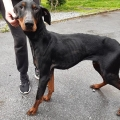 ISPCA rescue two very emaciated Doberman dogs